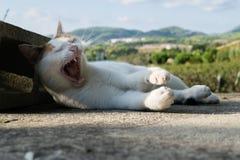 белизна кота зевая Стоковое фото RF
