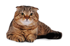 белизна кота изолированная створкой шотландская Стоковая Фотография