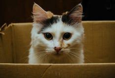 белизна кота коробки предпосылки Стоковое Изображение RF