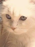 белизна кота красотки Стоковое фото RF