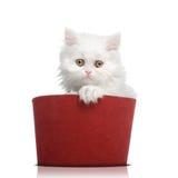 белизна кота крышки красная Стоковые Фотографии RF