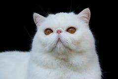 белизна кота медная экзотическая eyed стоковое фото rf