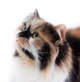 белизна кота предпосылки Стоковое Изображение RF