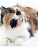 белизна кота предпосылки Стоковая Фотография RF