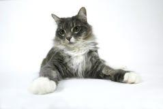 белизна кота предпосылки Стоковые Изображения RF