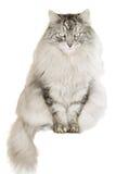 белизна кота предпосылки серая siberian Стоковые Фотографии RF