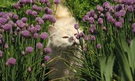 белизна кота пушистая Стоковая Фотография RF