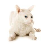 белизна кота унылая Стоковое Изображение RF