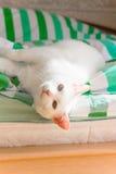 белизна кота Стоковые Изображения