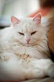 белизна кота стоковая фотография