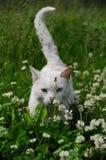 белизна кота Стоковое фото RF