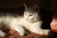 белизна кота Стоковое Фото