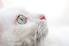 белизна кота Стоковое Изображение RF