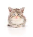 белизна котенка предпосылки Стоковая Фотография