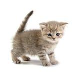 белизна котенка предпосылки Стоковые Изображения RF