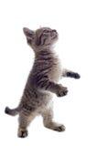 белизна котенка предпосылок Стоковое Изображение