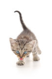 белизна котенка предпосылки Стоковые Изображения