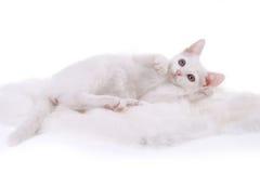 белизна котенка шерсти Стоковые Изображения
