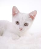 белизна котенка шерсти Стоковое Изображение RF