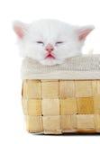 белизна котенка Стоковое Фото