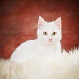 белизна котенка Стоковая Фотография