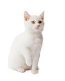 белизна котенка Стоковое фото RF