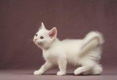 белизна котенка Стоковые Изображения RF