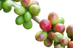 белизна кофе фасолей Стоковое Изображение