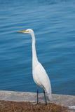 белизна красивейшего egret большая Стоковое Изображение RF