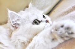 белизна красивейшей персиянки кота отдыхая Стоковые Фото