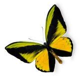 белизна красотки изолированная бабочкой тропическая Стоковая Фотография RF