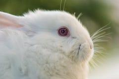 белизна кролика Конец-вверх зайчика пасхи Стоковые Изображения