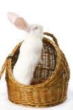 белизна кролика корзины альбиноса Стоковые Изображения RF