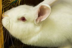 белизна кролика Лабораторное животное альбиноса отечественного кролика Стоковые Изображения RF
