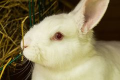 белизна кролика Лабораторное животное альбиноса отечественного кролика Стоковое Изображение