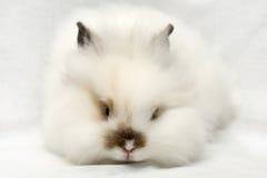 белизна кролика портрета Стоковое Изображение