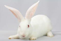 белизна кролика предпосылки серая Стоковая Фотография RF