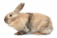 белизна кролика предпосылки Стоковое фото RF