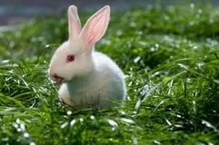 белизна кролика травы Стоковое Изображение