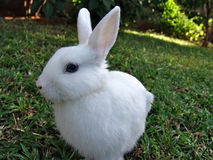 белизна кролика Стоковое Изображение
