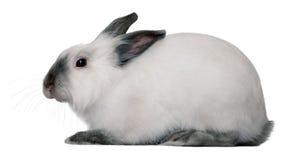 белизна кролика Стоковое Фото
