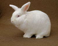белизна кролика Стоковые Фото
