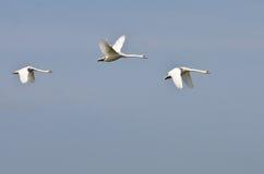 белизна лебедей 3 летания Стоковые Изображения RF
