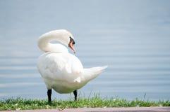 белизна лебедя берега озера Стоковые Фотографии RF