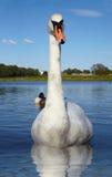 белизна лебедя отражения озера Стоковые Фотографии RF