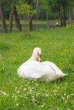 белизна лебедя парка Стоковая Фотография RF