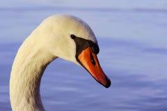 белизна лебедя портрета Стоковые Изображения