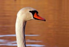 белизна лебедя портрета Стоковая Фотография
