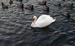 белизна лебедя утки Стоковое Фото