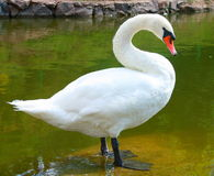 белизна лебедя Стоковое Изображение